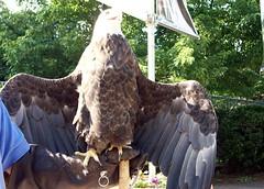 Eagle_61811b
