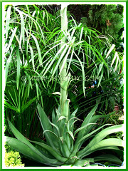 Flowering Agave desmettiana (Smooth Agave, Smooth/Dwarf Century Plant) with focus on its ornamental foliage - April 28 2011