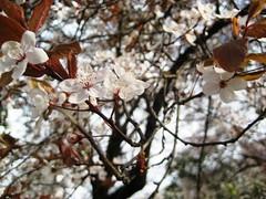 J'AI ATTRAPE LE PRINTEMPS ! . . . . (manoulouve) Tags: paris flower fleurs noiretblanc parc printemps montsouris