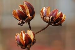 seed pods (girl seeking grace) Tags: savannah seedpods