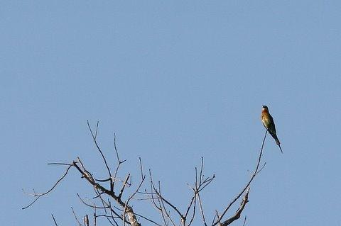 blue-tailed bee-eater k gudi 180308