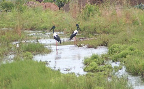 Jabiru at Berrimah