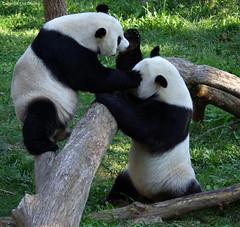 """Mei Xiang & Tian Tian, do their favorite """"THREE STOOGES"""" imitation. Yuck, Yuck, Yuck. (foocheung) Tags: panda nationalzoo pandas tiantian meixiang taishan"""
