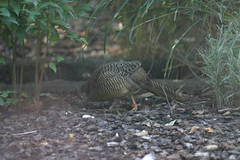 Female Golden Pheasant (cmlburnett) Tags: female chinesepheasant goldenpheasant milwaukeezoo pictus chrysolophus