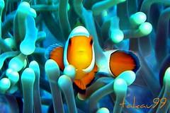Clownfish at Hin Daeng, Thailand