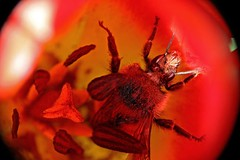 My Beautiful Prison (Peggy Collins) Tags: red flower macro closeup drunk insect interestingness trapped flora bee explore prison tulip pollen supershot raynoxdcr250 platinumphoto anawesomeshot peggycollins
