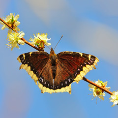 Mourning Cloak Joy (Fort Photo) Tags: flowers brown black bird nature floral birds animal fauna butterfly square spring flora nikon colorado mourning adult fort birding large fortcollins insects diagonal co april dorsal collins ornithology squarecrop avian larimer onblue d300 naturesfinest nymphalidae mourningcloak camberwellbeauty bmna nymphalis tortoiseshells vob brushfootedbutterflies nymphalinae upwardrisediagonal nymphalisantiopa antiopa fineartphotos flutteryfriday abigfave anawesomeshot impressedbeauty