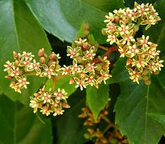 Vite del Canad in fiore.....woodbine blooming (Sante.boschianpest) Tags: woodbine virginiacreeper parthenocissus abigfave viteamericana parthenocissusvitacea vitedelcanad macromarvels vitedelcanada