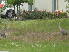 Baby Cranes (freegracefrom) Tags: chicks sandhillcranes