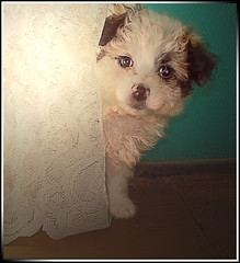 Me llamaron???? (Errlucho) Tags: chile dog cortina can perros mascota cosita perrita pelos tierna ojitos ar1 doggis errlucho