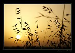 (Asier.) Tags: sunset sun planta sol silhouette atardecer sony cadiz silueta alpha anochecer conil