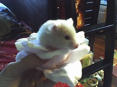 My little flower (Jorma McCracken) Tags: pet baby cute animal hamster syrian layna