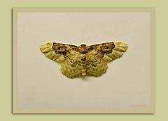 lebendiger Nachtfalter -  living moth