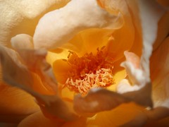 Rose Stamens (~ Stormin' Arizona ~) Tags: flowers roses macro nature garden stamens mygarden supermacro hybridtearose goldstaraward macroflowerlovers