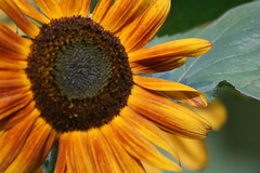 IMG_3498 (Blackavar Lion) Tags: flowers flower macro closeup bokeh bee sunflower bloom abeja tournesol abeille girasol bij biene  sonnenblume zonnebloem hymenoptera    apoidea  canonrebelxti  anthophila  2be2176f59cfac7c3f99b44a73b29c9b