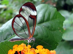 Greta oto. Glasswing butterfly. (Linda De Volder (the new layout is horrible)) Tags: macro nature butterfly insect geotagged belgium lepidoptera papillon knokke borboleta mariposa farfalla sommerfugl schmetterling vlinder  perhonen coldblooded nymphalidae motyl   fluture   brushfootedbutterflies gretaoto glasswingbutterfly flowerwithinsect leptir vlindertuinknokke  flowerandinsect   lindadevolder