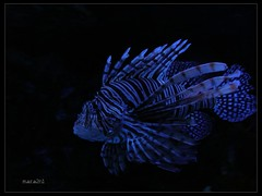 fish (Jacek (mara2n1)) Tags: fish portugal water photo bravo europe lisboa lionfish soe oceanarium blueribbonwinner coolpixs4 top20colorpix abigfave anawesomeshot impressedbeauty aplusphoto frhwofavs theunforgettablepictures proudshopper theperfectphotographer mara2n1 goldstaraward
