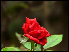 Happy Friendship Day , ' Flickr ' Friends !! (Vanajai) Tags: flower home nature rose garden friendshipday naturesfinest impressedbeauty diamondclassphotographer flickrdiamond