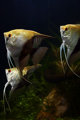 angelfish_half_black (Ricardo Kobe) Tags: fish black aquarium half angelfish freshwater