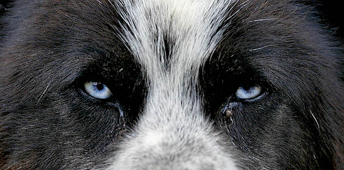 _MG_0232-Husky-eyes