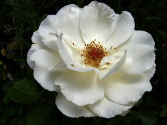 white rose (basha04) Tags: flowers summer usa beauty colorado mysistersgarden