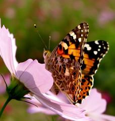 If I lift up my eyes ... (ichiro kishimi) Tags: flower butterfly kyoto cosmos paintedlady platinumphoto goldstaraward
