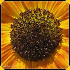 Sunflower macro (Todd Boland) Tags: flowers sunflower asteraceae helianthus floweria