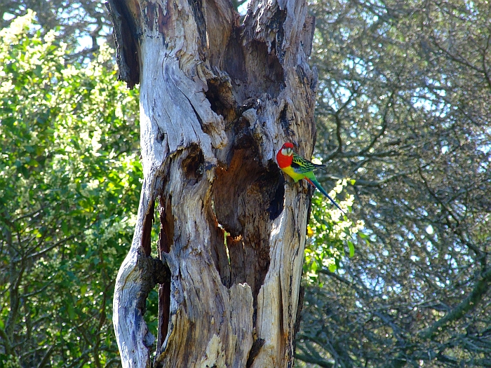 eastern rosella in a tree