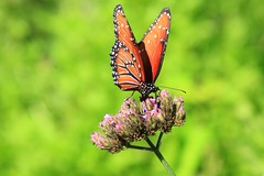 Color (SomeGuyinSimi) Tags: color nature butterfly pretty texas heard buttterflies