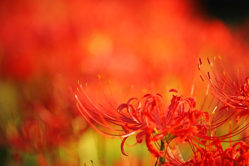 Red spider lily!!