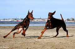 Campary & Destiny, Dobermanns (Devilstar) Tags: dog playing beach funny dream destiny land doberman dobermann flox stroomi dobermanns campary koerad mngivad  legrant halettah