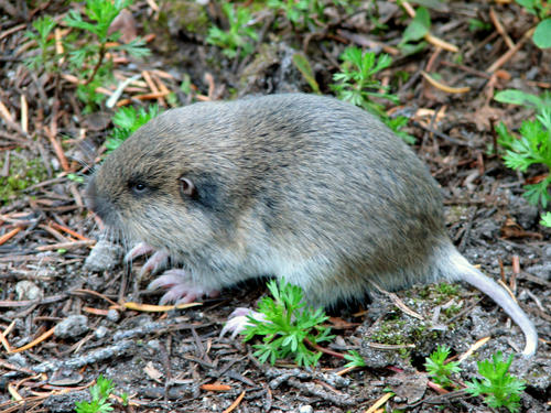 pocketgopher2.jpg