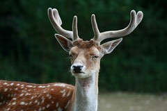 Daim (home77_Pascale) Tags: zoo daim attilly zoodattilly vosplusbellesphotos