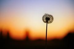 DSC_4738m (UbiMaXx) Tags: sunset sun flower nature fleur sunrise landscape countryside interesting nikon selection dandelion vegetation nikkor campagne bord maxx marne sinse d700 nikond700 2470mmf28g afsnikkor2470mmf28ged ubimaxx