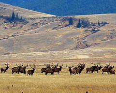 National Elk Refuge - Jackson, WY (Dave Stiles) Tags: explore elk bullelk jacksonwy nationalelkrefuge goldwildlife