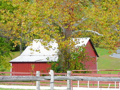 Sycamore Tree and Barn (chippewabear) Tags: red tree fall field barn farm farming indiana sycamore redbarn sycamoretree morganco goldstaraward