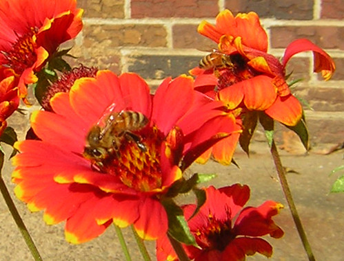 Two bees or not two bees (Honeybees on coreopsis)