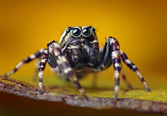 Male Pelegrina galathea Jumping Spider (Thomas Shahan) Tags: portrait macro male face k vintage lens prime spider jumping eyes soft close asahi pentax takumar zoom box head arachnid flash small 28mm tubes extension reversed dslr ist smc vivitar softbox dl diffuser opo entomology arachnology arthropod macrophotography bayonet salticid palps salticidae pelegrina chelicerae galathea thyristor terser justpentax