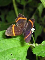Riodina lysippus