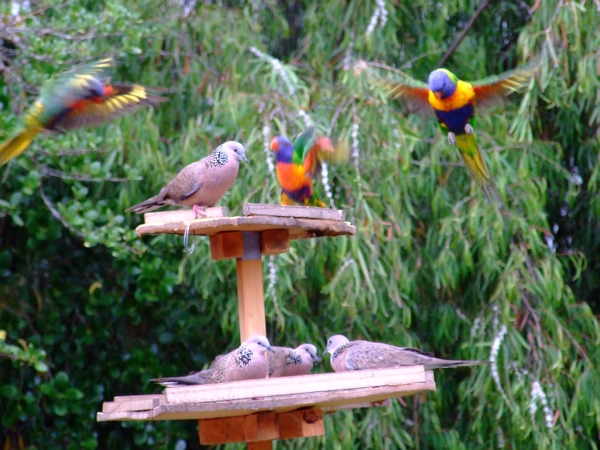 blurry lorikeets