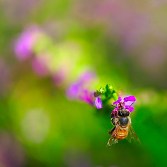 Jolly Bee (.I Travel East.) Tags: flower green nikon purple bokeh bee batonrouge bloom nikkor vr lucio bulaklak busybee familytime onexplore voracious nikkor105mm charlottesgarden interestingness398 vibrationreduction batonrougelouisiana nikkor105mmf28vr bubuyog backyardshot d700 nikond700 bokehs itraveleast pkoutstandingpinoykodakeroaward afineoctoberafternoon exploredoctober272008