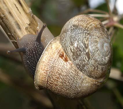 Evermiculata1
