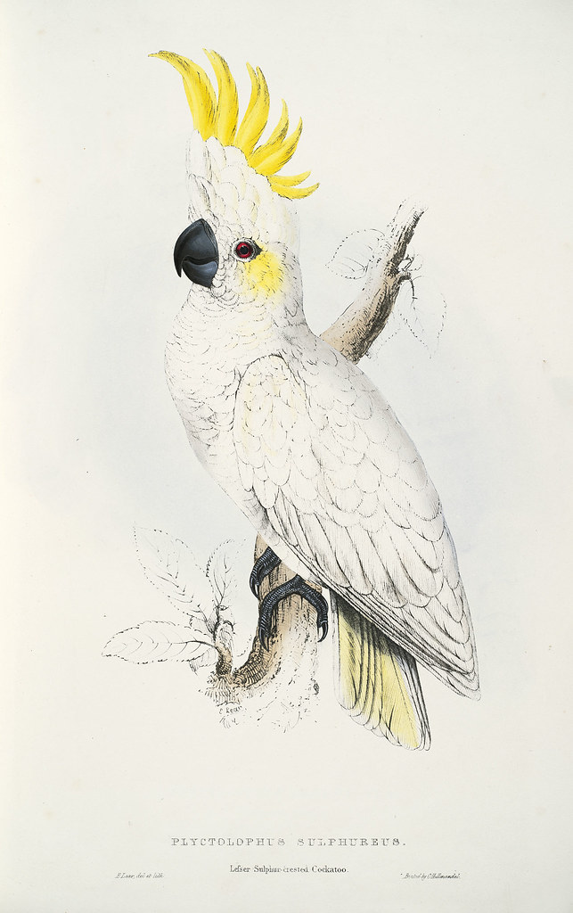 Plyctolophus sulphureus. Lesser sulphur-crested cockatoo
