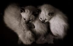 kitties (bkapi) Tags: cats white art animal animals photography kittens photograph kitties kittenmagazine