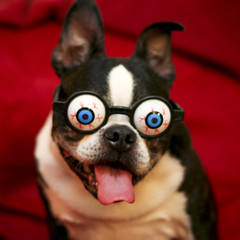 ( Just me... ) Tags: boston bostonterrier terrier