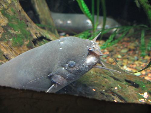 atlanta fish electric ga river georgia aquarium atl egypt scout nile catfish georgiaaquarium acquario acuario freshwater riverscout electriccatfish 3264x2448 hoyasmeg