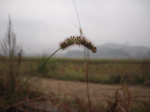Dog tail grasses - 07