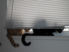 SDC10287 (ahough404) Tags: cats blackcat orangecat blinds