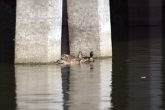 Ducks (David.Keith) Tags: ducks canonrebelxt bayouplaquemine
