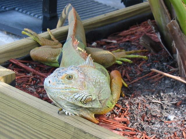 Iguana 20070123